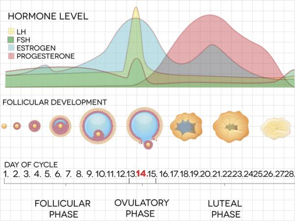 Cuáles son los días fértiles de una mujer - Ovulación y días fértiles