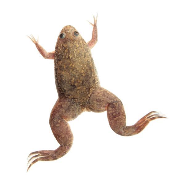 ¿Qué es la prueba de la rana para embarazadas?